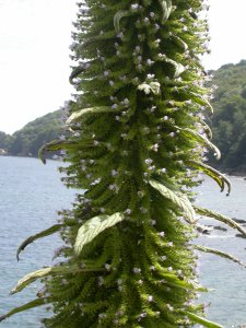 Picture of an Echium