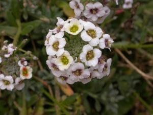 Picture of Lobularia canariensis ssp. marginata